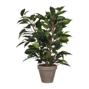Ficus Natasja Com Vaso D11.5Cm - 40X30Cm