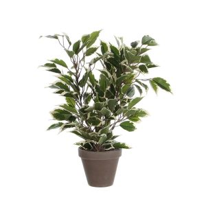 Ficus Natasja Marmorizado Com Vaso 4X11.5Cm