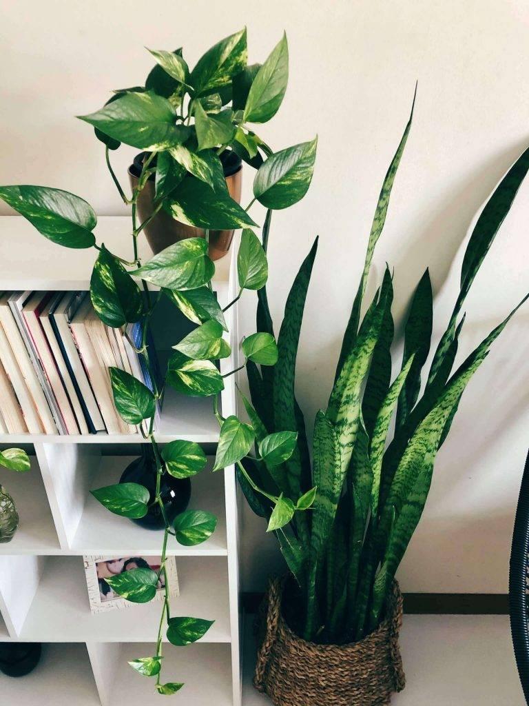 Jiboia plantas que melhoram a qualidade do ar O Meu-Jardim