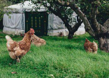 Fazer criação de galinhas
